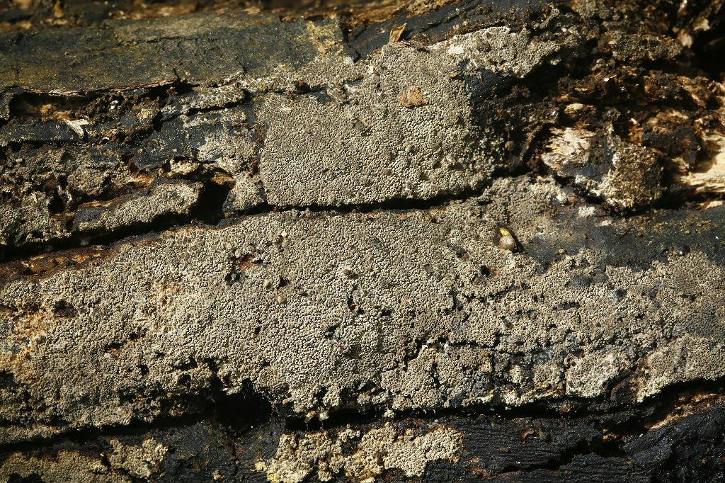 Грибы найдены на горе Кармель, на дне пересохшего ручья, на очень трухлявом, насыщенном влагой дубовом бревне. Первая находка этого вида в Израиле. Середина апреля 2019 г. Автор фото: Александр Гибхин