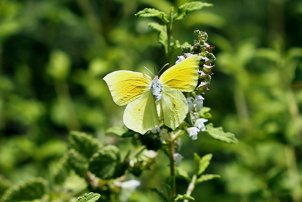 Бабочки в полёте. Попытка сфотографировать бабочку с открытыми крыльями. Автор фото: Александр Гибхин