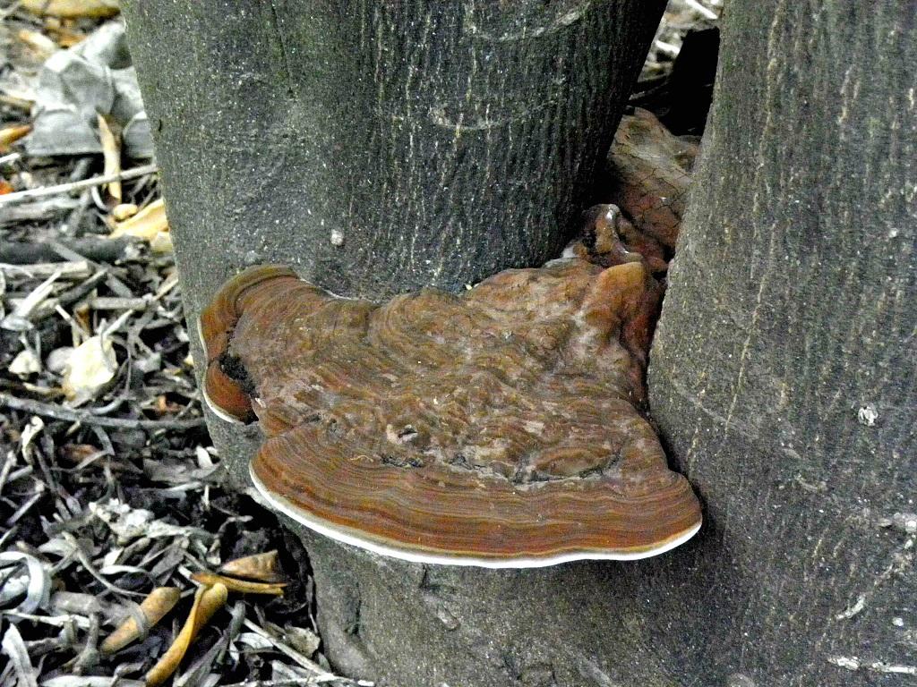 Грибы найдены на разных лиственных деревьях. Автор фото: Александр Гибхин