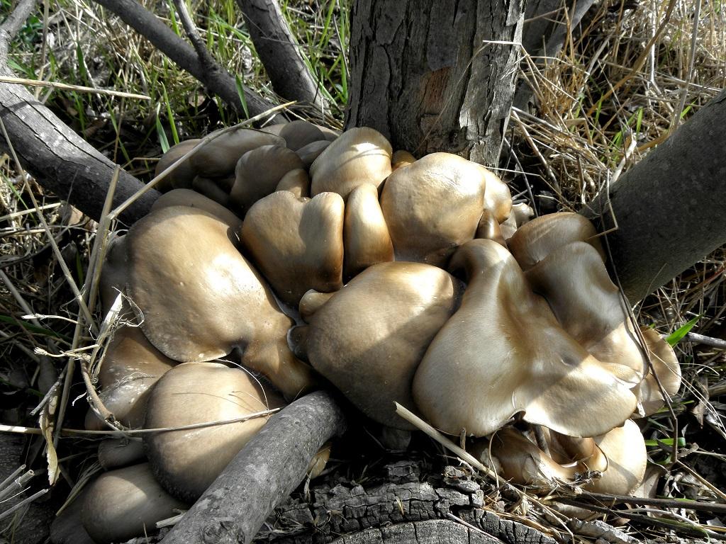 Редкие грибы в Израиле. Мной этот вид был обнаружен в декабре после вырубки, на одном из пней орехового дерева. Автор фото: Александр Гибхин