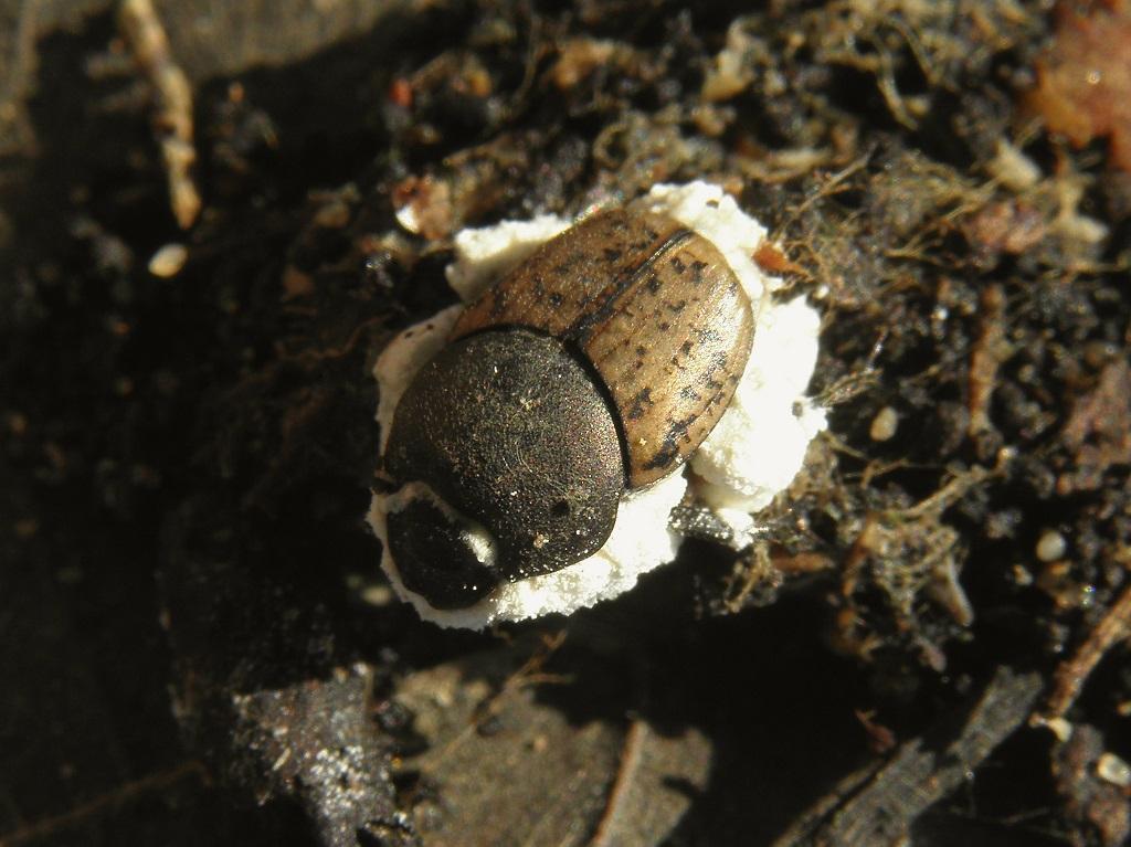 В интернете о этом грибке пишут: «Грибок паразитирует на различных видах насекомых, но «предпочитает» жуков, прямокрылых и бабочек. Споры beauveria, попав на тело хозяина, прорастают внутрь и убивают его в течение нескольких дней. На поверхности насекомого образуется хорошо заметный белый «пушок» - это многочисленные конидиеносцы гриба. Грибок с успехом используется в качестве инсектицида в борьбе с насекомыми-вредителями сельскохозяйственных культур. Для человека и других животных не опасен.» Автор фото: Александр Гибхин