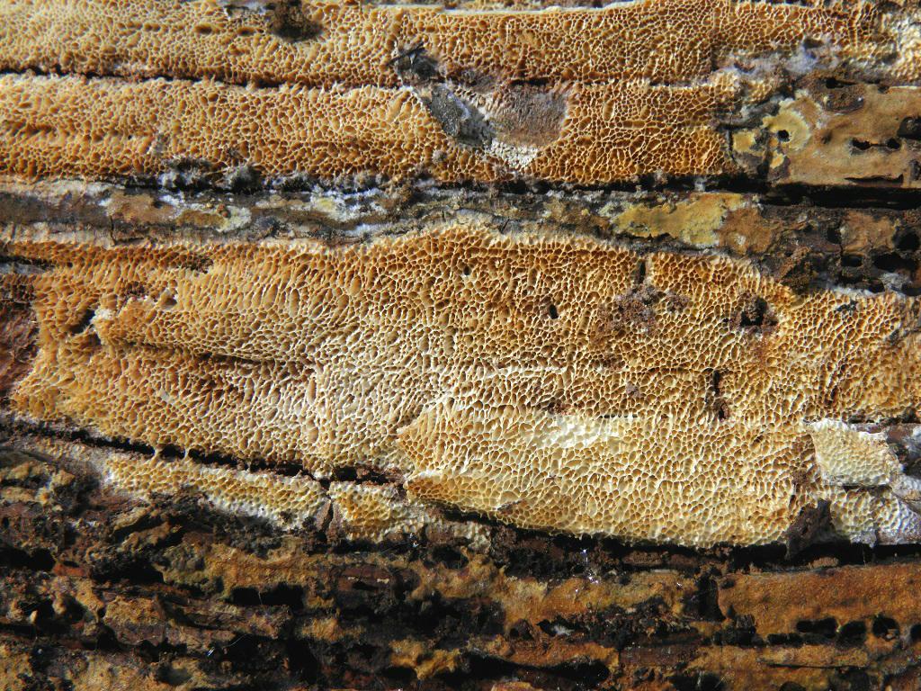 Гриб найден на сильно разложившемся валежном стволе  Pīnus halepēnsis, не далеко от города Ашдод. Редкий в Израиле гриб, хотя широко распространёт в средиземноморском регионе. Декабрь 2018 года. Автор фото: Александр Гибхин