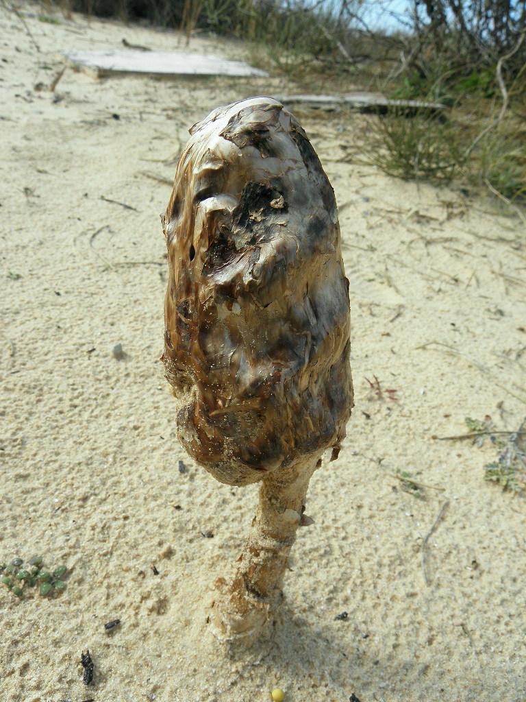 Гриб найден на побережье Средиземного моря в песчаных дюнах. Автор фото: Александр Гибхин