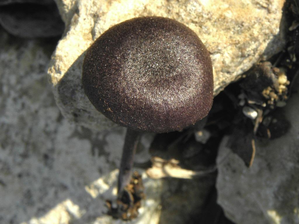 Редкая Энтолома. Встречается на горе Кармель под дубами. Январь 2019 г. Автор фото: Александр Гибхин