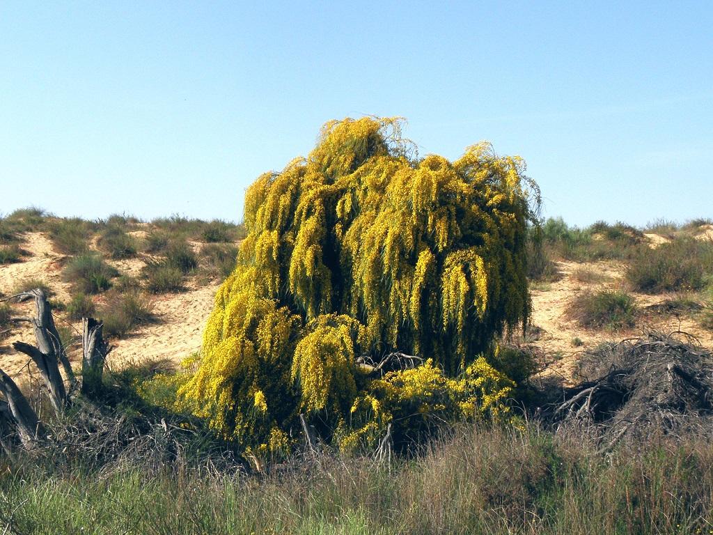 Этот вид Акаций был интродуцирован в Израиль из Австралии в начале двадцатого века, как декоративное растение. Но, климат так подошёл этому виду, что растение быстро самостоятельно распространилось по всей северной и центральной частям Израиля и сейчас рассматривается, как сорняк вытесняющий местные виды. По этому, во всех заповедных местах эти Акации нещадно вырубают. Я же люблю эти не большие деревья. Они создают густые заросли в пустынях, и в течении короткого времени создают роскошную подстилку из листьев и валежа. В таких местах обитает много интересных грибов, многие из которых, не встречаются в других местах и до сих пор остаются не определёнными. Автор фото: Александр Гибхин
