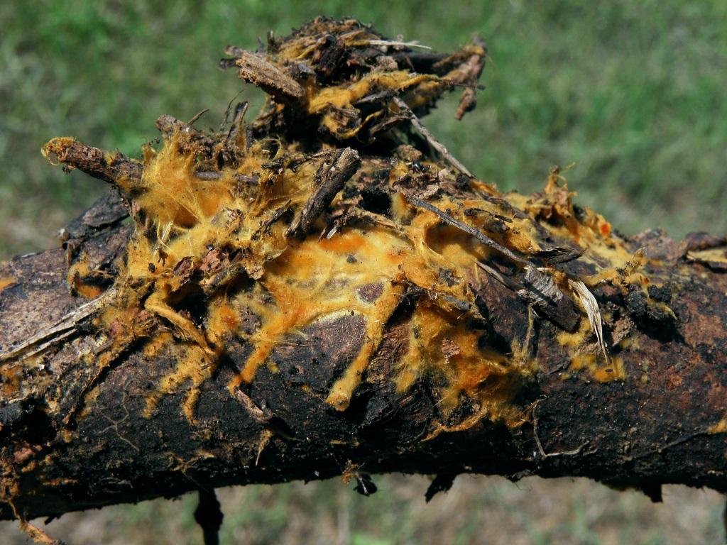 Мицелий Parasola conopilea на валеже. По моим наблюдениям в течении нескольких лет, так выглядит мицелий во время образования примордий. Автор фото: Александр Гибхин