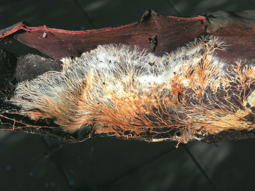 Atheliachaete sanguineaГрибы найдены на валеже эвкалиптов в районе города Ашдод. Автор фото: Александр Гибхин