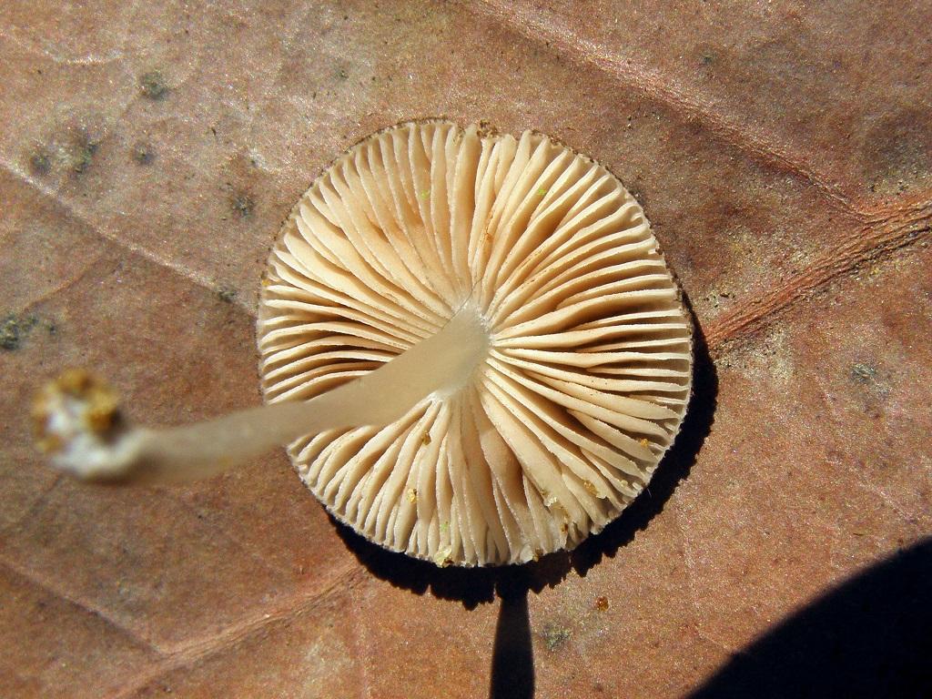 Грибы найдены в ботаническом саду,в теплице для тропических растений, на мелком древесном мусоре среди мха. Автор фото: Александр Гибхин