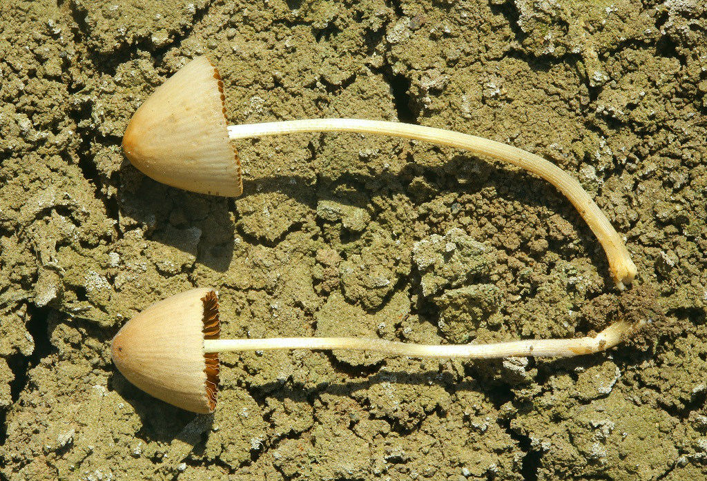 Грибы найдены на унавоженной почве на кукурузном поле, рядом с городом Ашдод. Шляпки гигрофанные. При высокой влажности имеют имеют рыжевато-коричневый цвет, при подсыхании становятся кремово-бежевые, в центре темнее. Шляпки и ножки опушены. Автор фото: Александр Гибхин