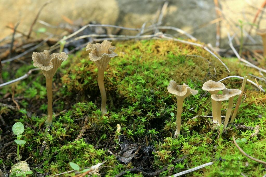 Грибы найдены среди мха в кипарисовом лесу, не далеко от города Модиин. Автор фото: Александр Гибхин