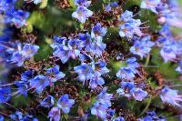 s:травянистые,c:синие,c:синие или голубые,d:в Израиле