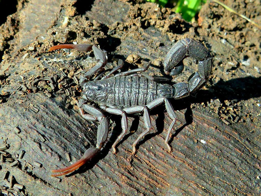 Толстохвостый <span class=wiki>скорпион</span> (Androctonus crassicauda). Автор фото: Александр Гибхин