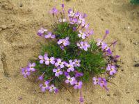 Марезия красивая (Maresia pulchella)Мелкое, но яркое растение. Произрастает на песчаных почвах в полупустынях и на побережье Средиземного моря.