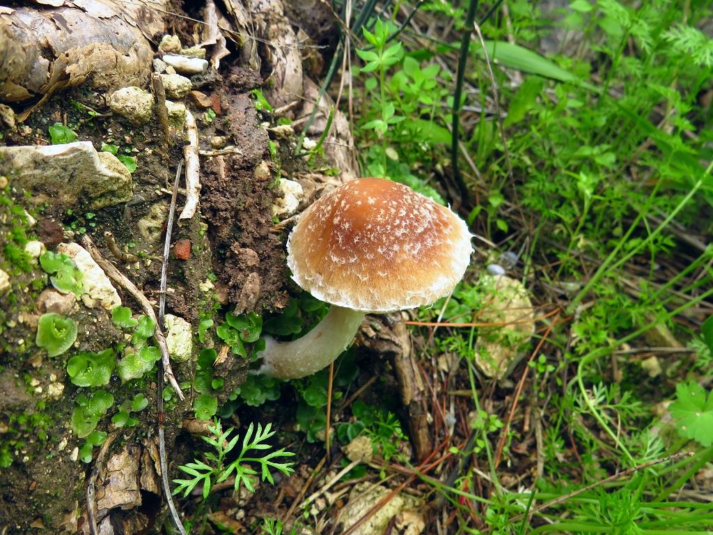 Найдена в смешанном лесу не далеко от города Модиин. Автор фото: Александр Гибхин