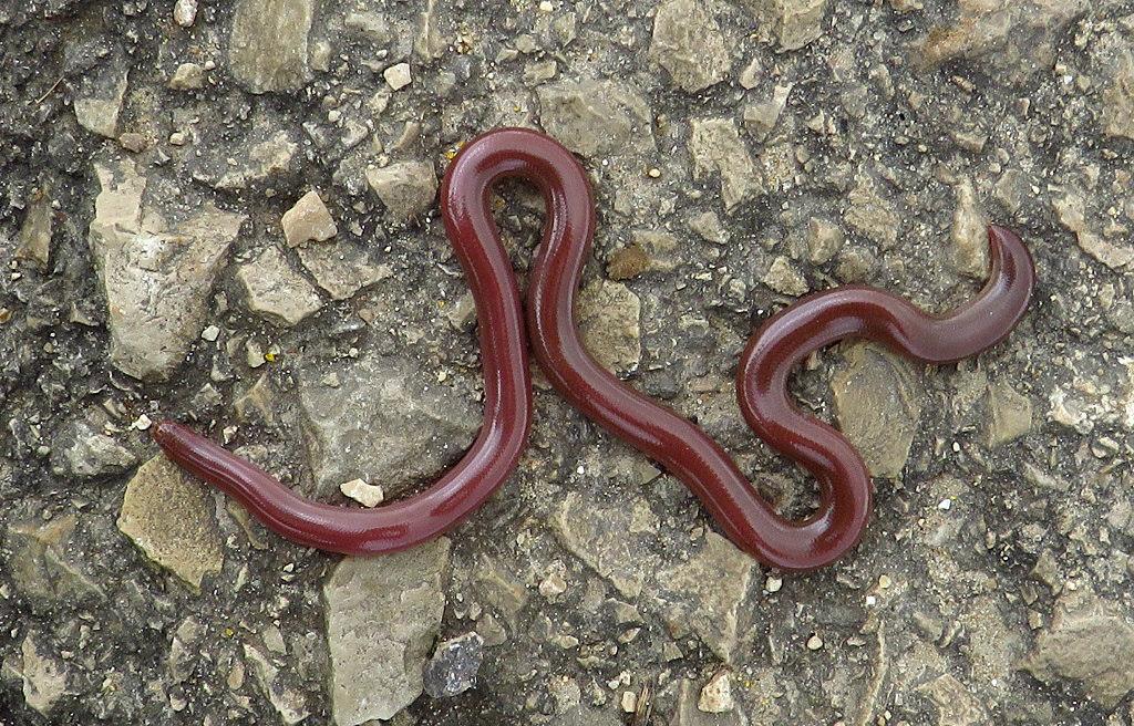 Слепозмейка обыкновенная (Typhlops vermicularis). Автор фото: Александр Гибхин