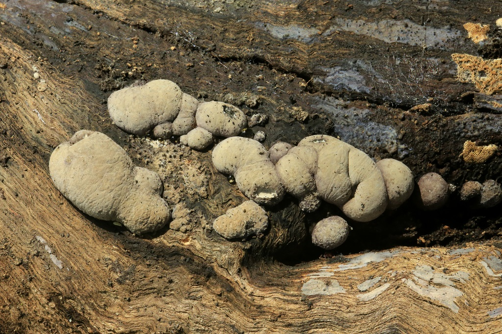 Анаморфная стадия развития гриба и образование телеморф. Автор фото: Александр Гибхин