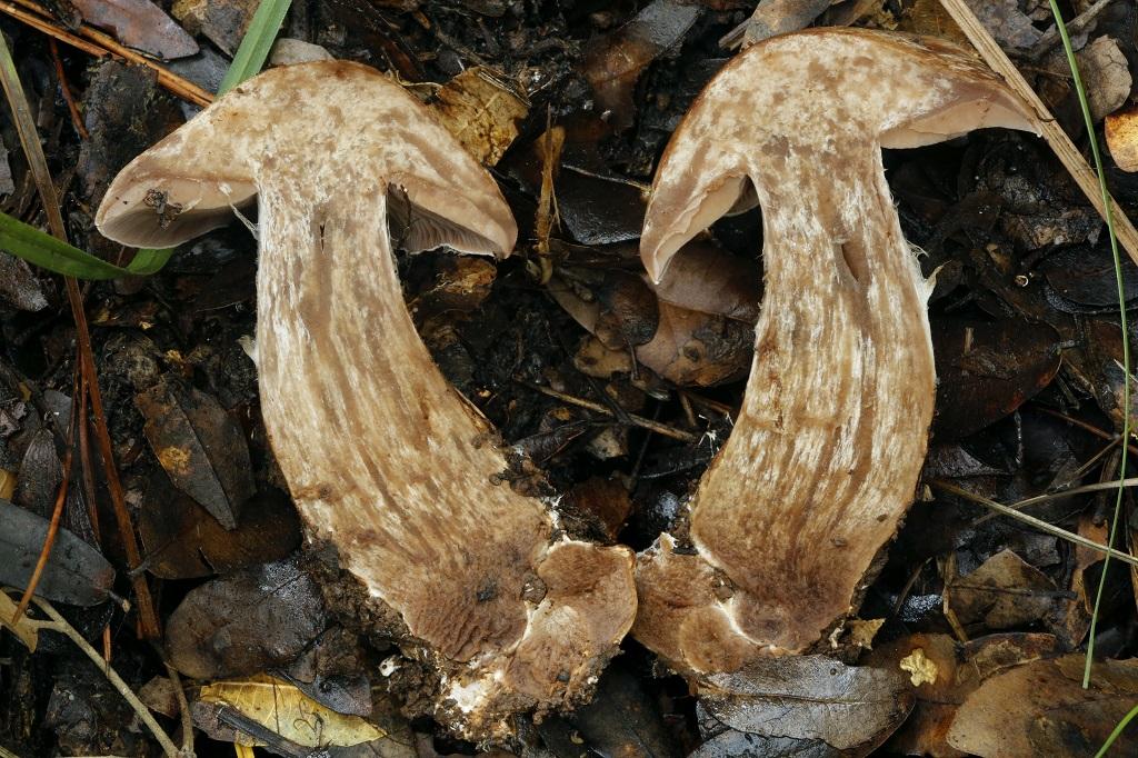 В разрезе гриб имеет красивую «мраморную» структуру. Автор фото: Александр Гибхин