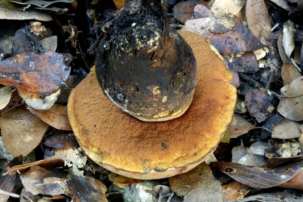 Гриб найден на горе Кармель под дубами, не далеко от города Хайфа. В основном Болетовые в Израиле дают только один грибной слой. Он начинается в начале сезона дождей и длится не долго. Но, единичные экземпляры грибов иногда встречаются до февраля. Автор фото: Александр Гибхин