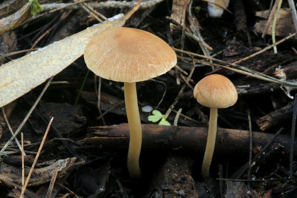 Грибы найдены в смешанном лесу среди мелкого древесного валежа и опилок.не далеко от города Модиин. Автор фото: Александр Гибхин