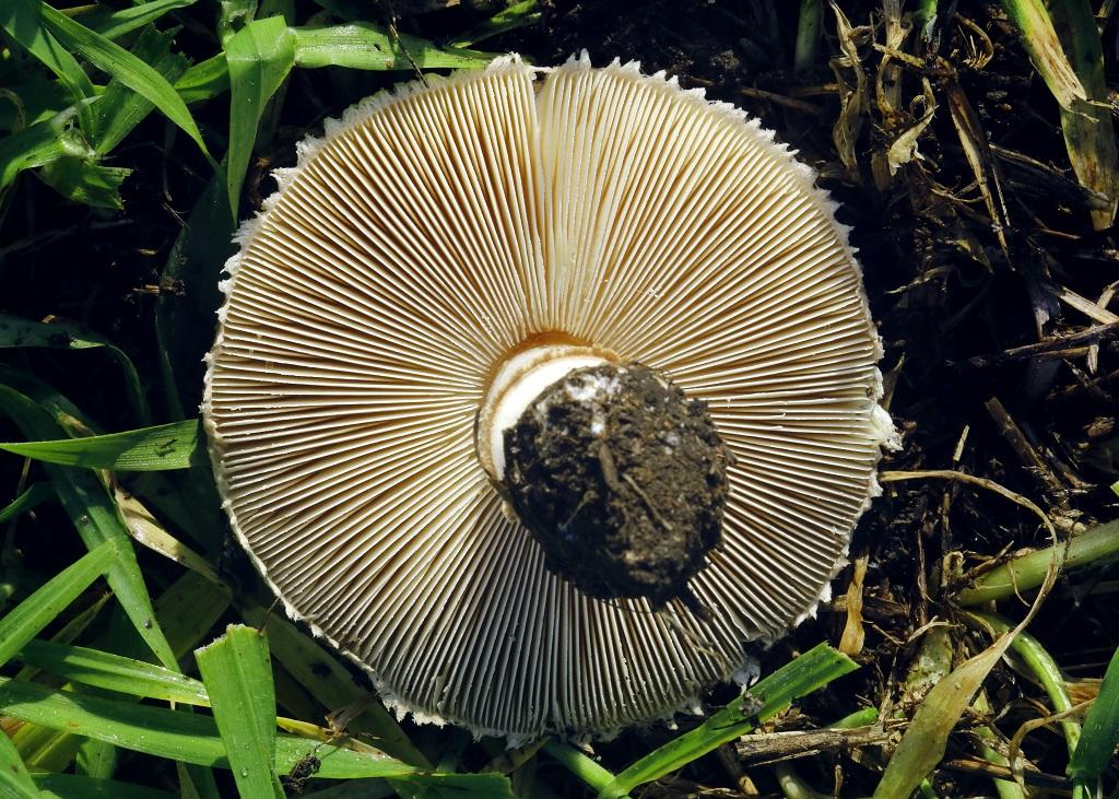 Гриб-зонтик белый (Macrolepiota excoriata) Автор фото: Александр Гибхин