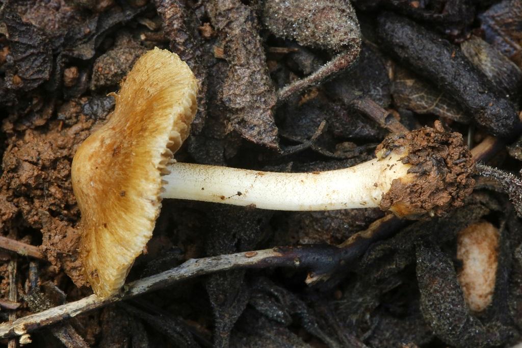Грибы найдены на горе Кармель в смешанном, сосново-дубовом лесу.Наиболее крупные плодовые тела достигали 3 см. в диаметре. Имеют слабый миндальный запах. Январь 2019 г. Автор фото: Александр Гибхин
