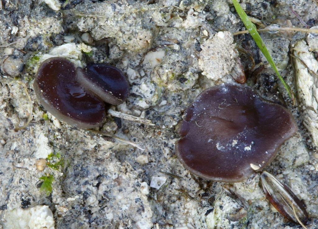 Грибы найдены в сосновом лесу на известковой почве,не далеко от города Модиин. Автор фото: Александр Гибхин