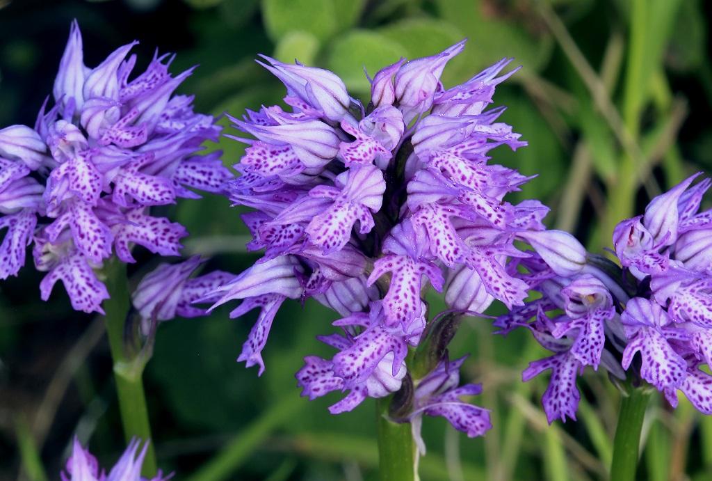 Цветы на горе Кармель. Автор фото: Александр Гибхин