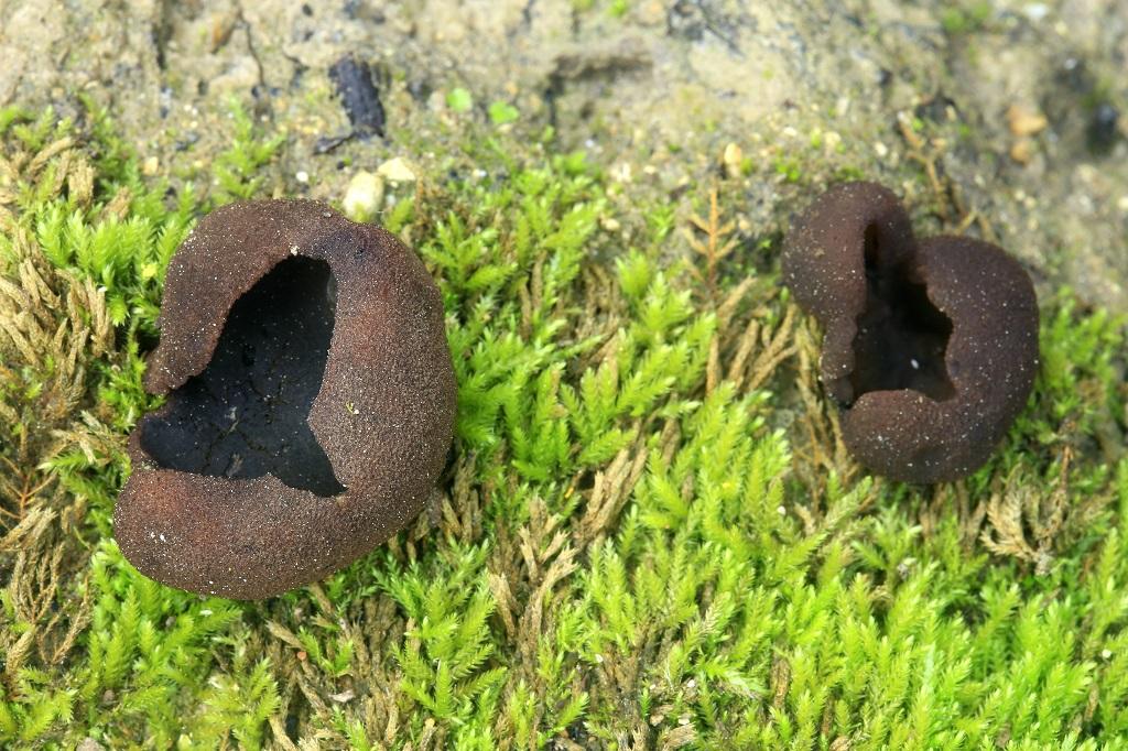 Грибы найдены на горе Кармель, в ущелье на влажной песчаной почве. Автор фото: Александр Гибхин