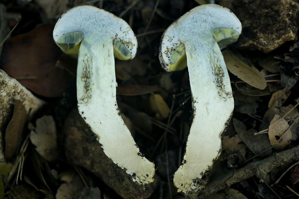 Грибы найдены под дубами на севере Израиля. Сентябрь 2019 года. Этот вид грибов не съедобен из-за очень горького вкуса. Автор фото: Александр Гибхин