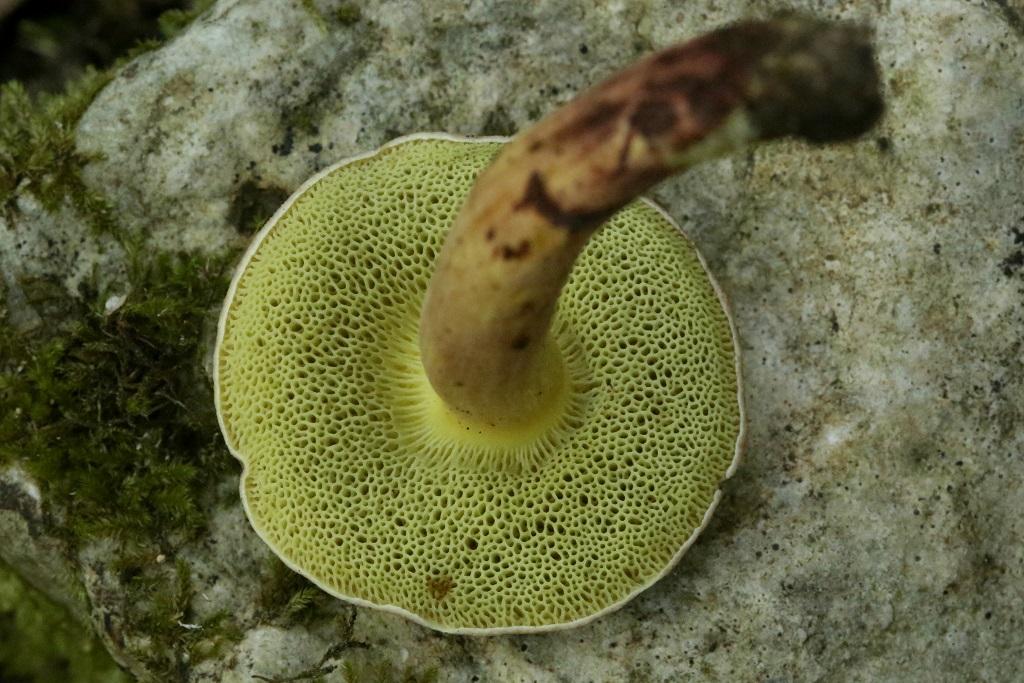 Xerocomus dryophilus Автор: Александр Гибхин