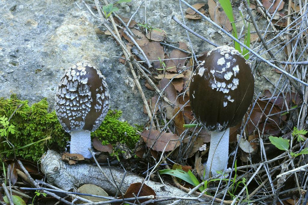 Грибы найдены на горе Кармель среди валежа лиственных деревьев. Декабрь 2019 года. Автор фото: Александр Гибхин