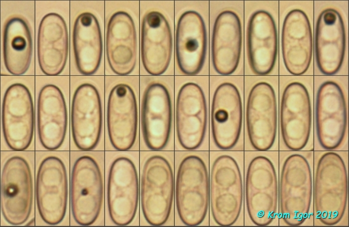 Spores. 400x, H2O  (15) 16.6 - 18.6 (19.7) × (7.3) 7.5 - 8.4 (8.8) µm Q = (2) 2.1 - 2.3 (2.4) ; N = 31 Me = 17.7 × 7.9 µm ; Qe = 2.2 Автор фото: Кром Игорь