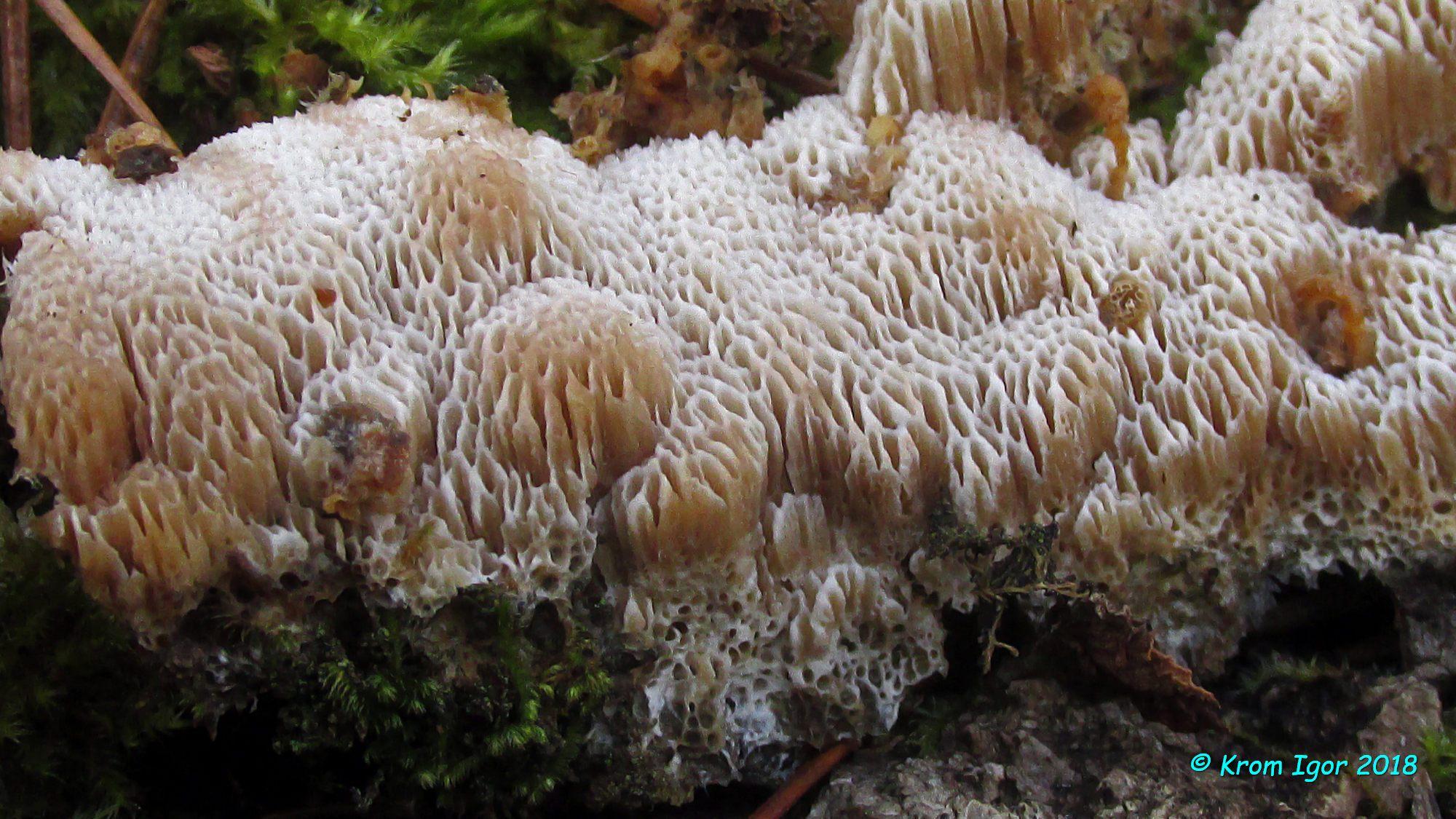 Апорпиум крупнопоровый (Aporpium macroporum). Автор фото: Кром Игорь