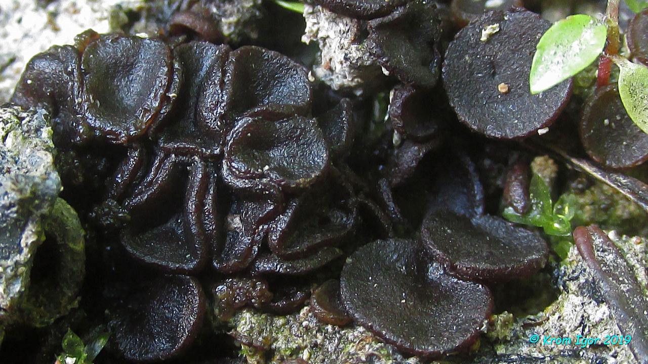 Аскоболус угольный (Ascobolus carbonarius) Автор: Кром Игорь