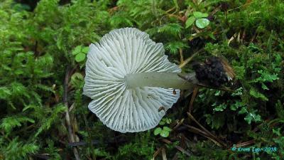 Говорушечка обильная (Clitocybula abundans) Автор фото: Кром Игорь