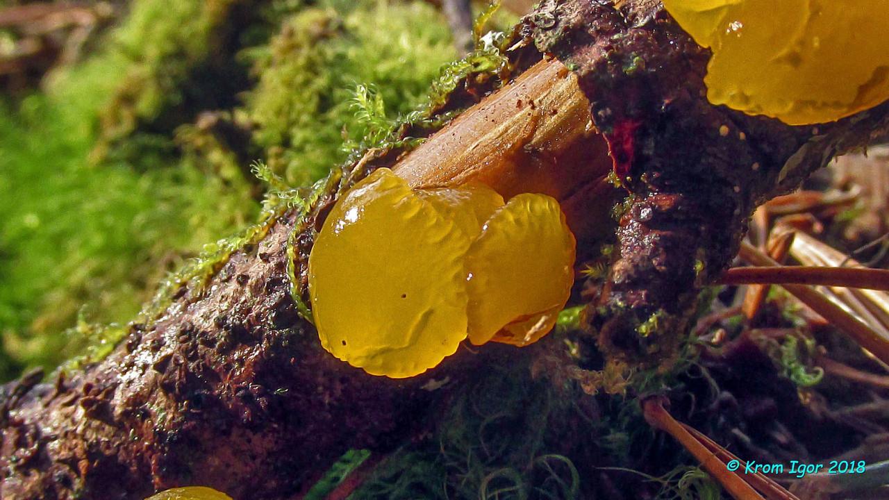 Природный парк Ергаки, около 1200 м над уровнем моря, в хвойном кедрово-пихтовом лесу, на границе таяния снегов. На пихтовой ветке. Ближайший сходный вид Dacrymyces minutus отличается формой кортикальных волосков. Однако существует предположение, что это различие обусловлено изменчивостью. Оба вида малоизучены, и, возможно, окажутся синонимами. Ни тот, ни другой ранее в РФ не отмечались. Автор фото: Кром Игорь