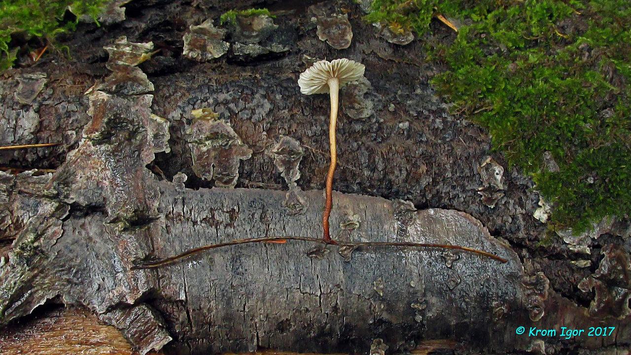 Плодовые тела Gymnopus perforans на иглах сосны и кедра.   Ключевые признаки вида - окраска шляпок (коричневая с лёгким розоватым оттенком во влажную погоду, выцветаюшая в сухую), фетидный запах (чеснока или тухлой капусты), наличие опушения по всей длине ножки, произрастание на иглах хвойных пород деревьев. Автор фото: Кром Игорь