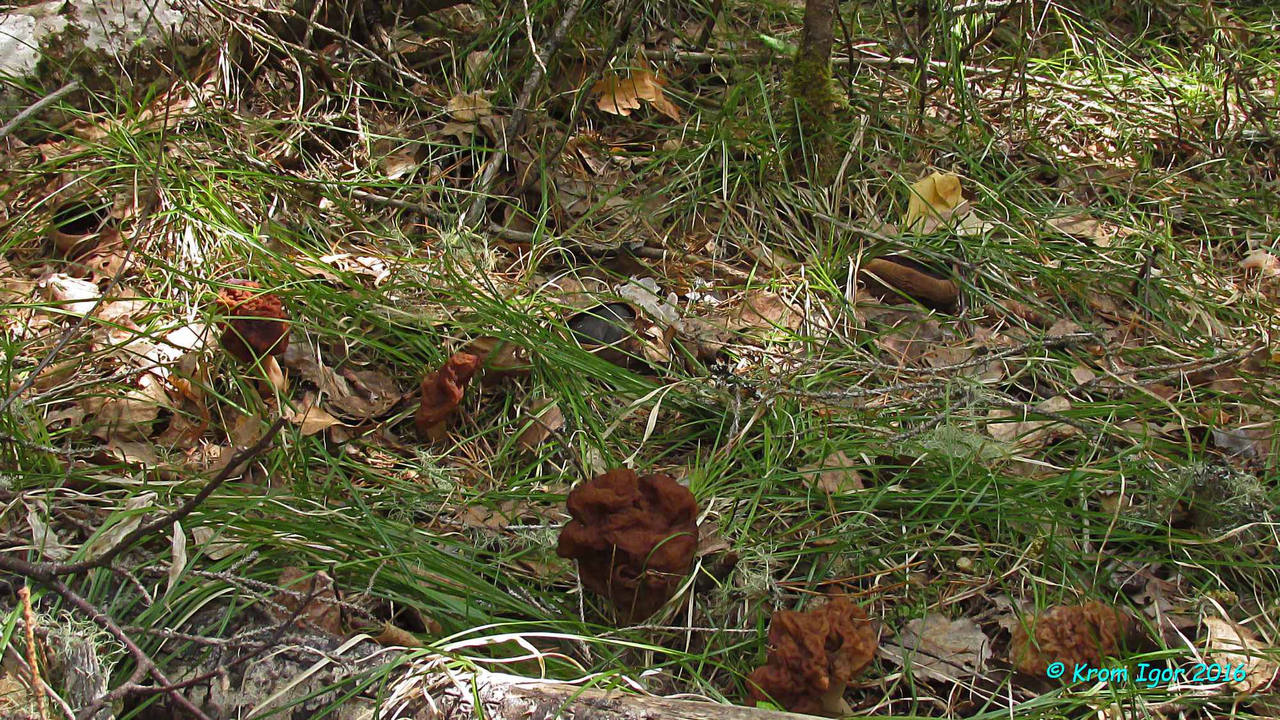 Строчок блистательный (Gyromitra splendida) Автор фото: Кром Игорь