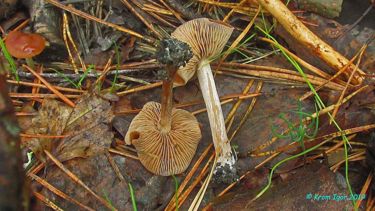 Наукория ложногорьковатая (Naucoria pseudoamarescens). Автор фото: Кром Игорь