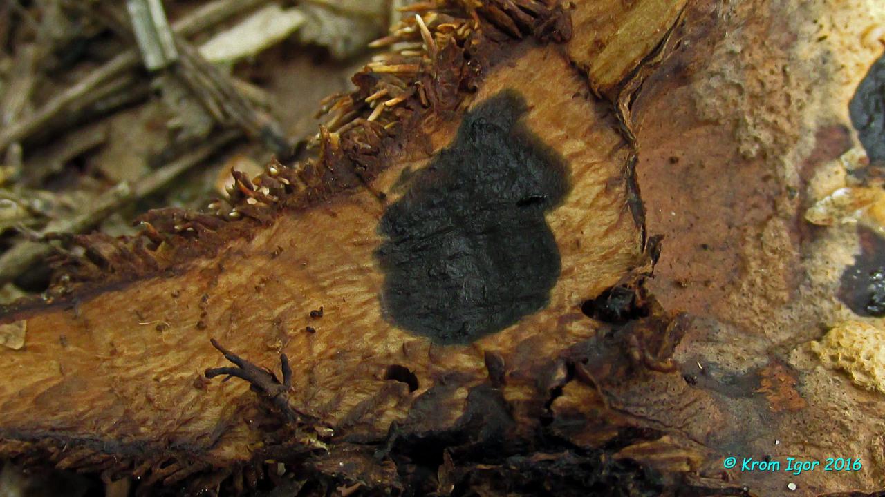 Гиднеллум золотистый (Hydnellum auratile) Автор: Кром Игорь
