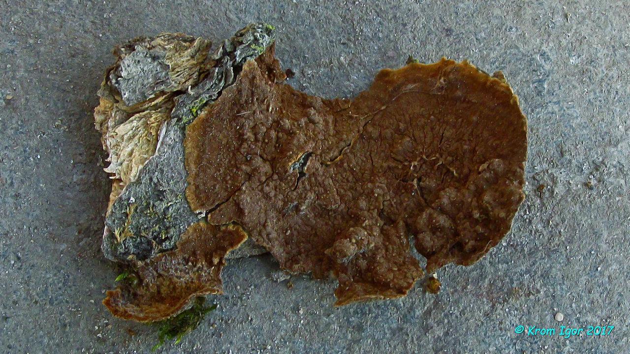 Зрелые плодовые тела в сентябре-октябре на карагане древовидной.   Рост на карагане древовидной, бугорчато-бородавчатый гименофор и эллипсоидные споры являются характерными, ключевыми признаками данного вида. Автор фото: Кром Игорь