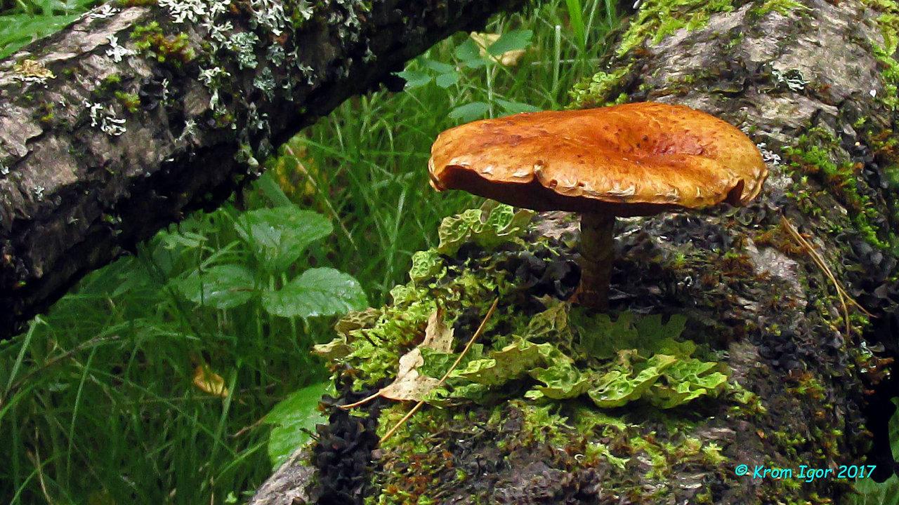 На древесине ивы.  Определено по монографии M. E. Noordeloos Strophariaceae s. l., 2011 г. (серия Fungi Europaei). Автор фото: Кром Игорь