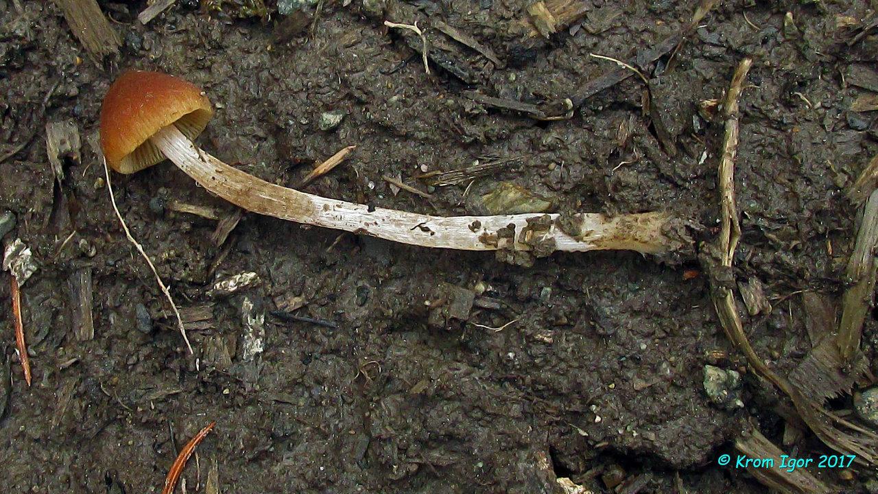 Псатирелла притуплённая на лесовозной дороге, на почве, перемешанной с мелкими древесными остатками, опилками и щепой. Определение подтверждено микроскопированием.  Саянские псатиреллы очень хорошо коррелируют с американским описанием вида (Smith A.H. The North American species of Psathyrella, 1972).  Ключевые признаки вида по Смиту:  Шляпка до 2,5 см диаметром, поверхность поначалу покрыта редкими волоконцами, затем гладкая; красно-коричневая, коричневая или коричного цвета, прозрачно-полосатая на 3/4 радиуса во влажном состоянии; в сухую погоду выцветающая; пластинки широкие, приросшие, сначала бледно-коричневатые, затем тёмно-красновато-коричневые до пурпурно-коричневых в старости, с беловатыми ровными краями; ножка без кольца, с волокнистыми остатками покрывала, споры 7-9 х 4-4.5 мкм; с нечёткой ростовой порой, в щелочной среде окрашивающиеся в шоколадный цвет. Автор фото: Кром Игорь