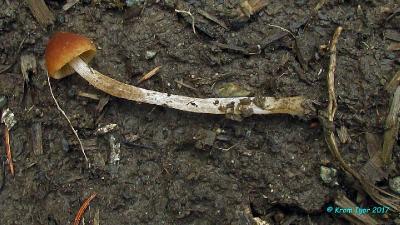 Псатирелла притупленная (Psathyrella obtusata) Автор фото: Кром Игорь