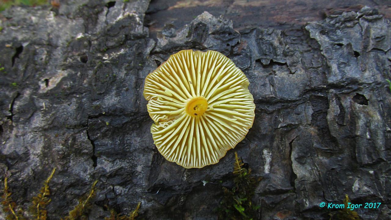 Гигроцибе восковая (Pseudohygrocybe ceracea). Автор фото: Кром Игорь