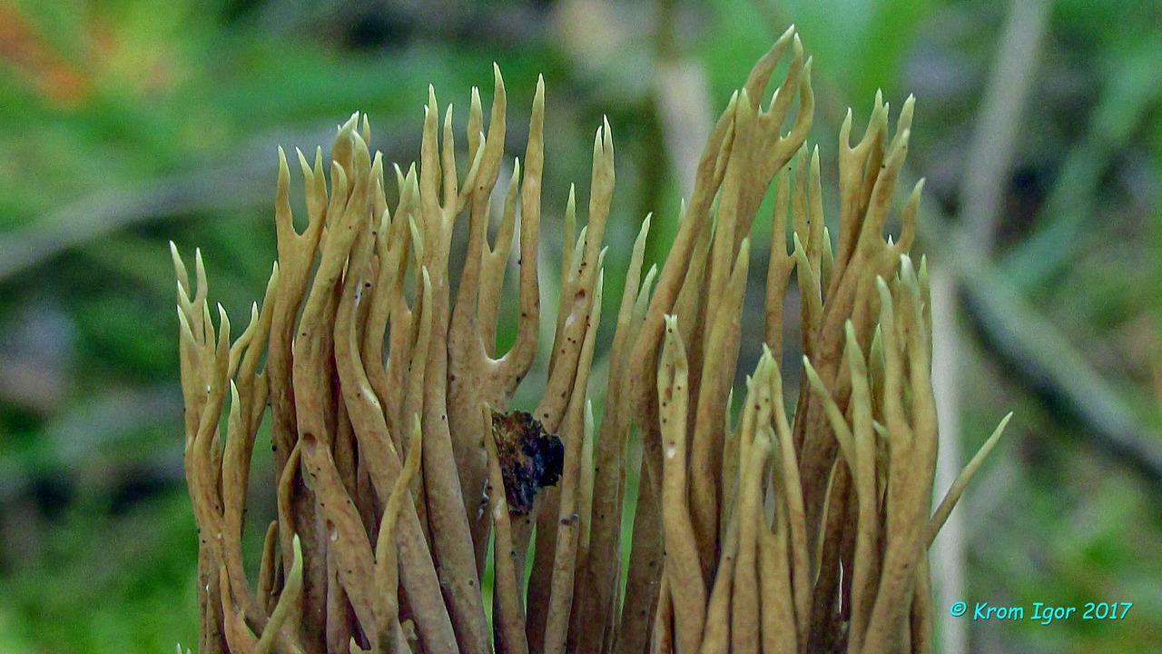Один из отличительных признаков Рамарии остроконечной - зеленоватый оттенок кончиков ветвей - проявился только в зрелом возрасте. Автор фото: Кром Игорь