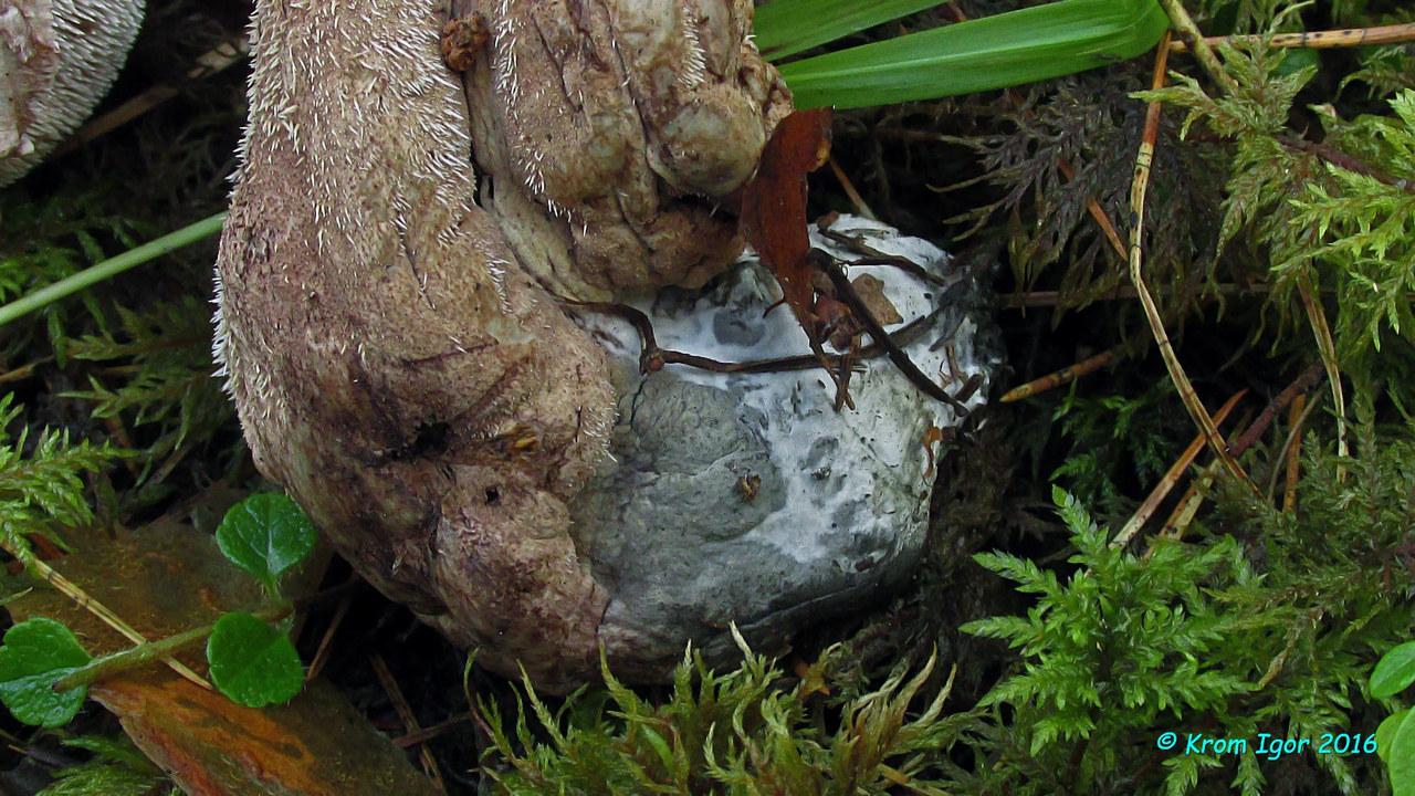 Ключевые признаки: по центру шляпки наблюдаются только ареолы либо прижатые, не приподнятые, чешуйки; средние размеры (до 11-12 см), серо- или сине-зелёное основание ножки (как на поверхности, так и в разрезе), сине-зелёное или зеленовато-оливковое изменение цвета под воздействием КОН (проявляющееся, по крайней мере, на поверхности шляпки), горький вкус мякоти, ассоциация с хвойными породами деревьев, размер спор и характер их орнаментации. Автор фото: Кром Игорь