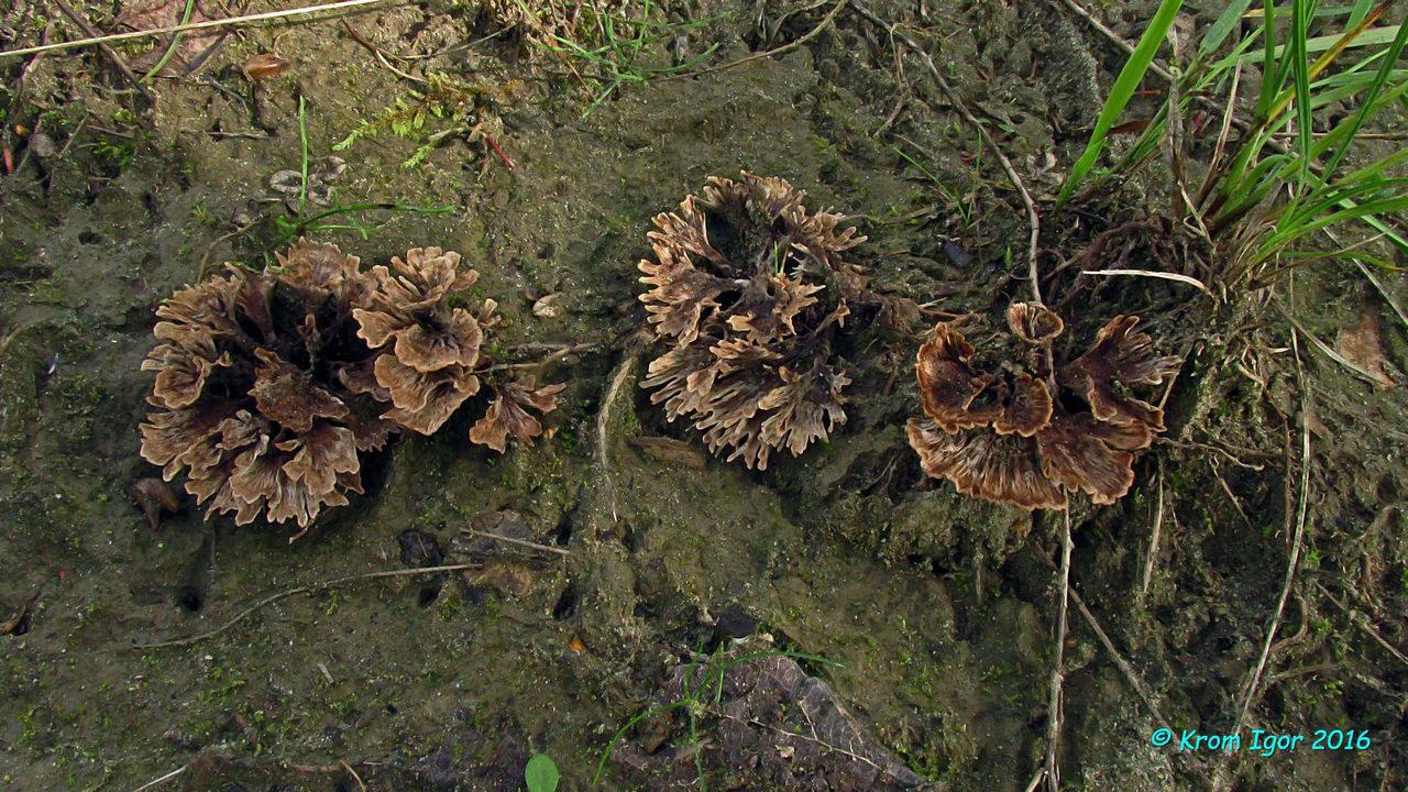 Вид, характеризующийся изменяющейся по мере развития формой плодовых тел - от вазоподобных и воронковидных до клавариоидных, произрастанием под лиственными деревьями, а также рядом микропризнаков. На территории Красноярского края был обнаружен в черте пос. Жаровск, в пойме р. Казыр, среди разреженного древостоя тополя лавролистного (Populus laurifolia), в облагороженной зоне, вблизи импровизированного подросткового футбольного поля, на песчаной почве среди чахлой редкой травы. Автор фото: Кром Игорь