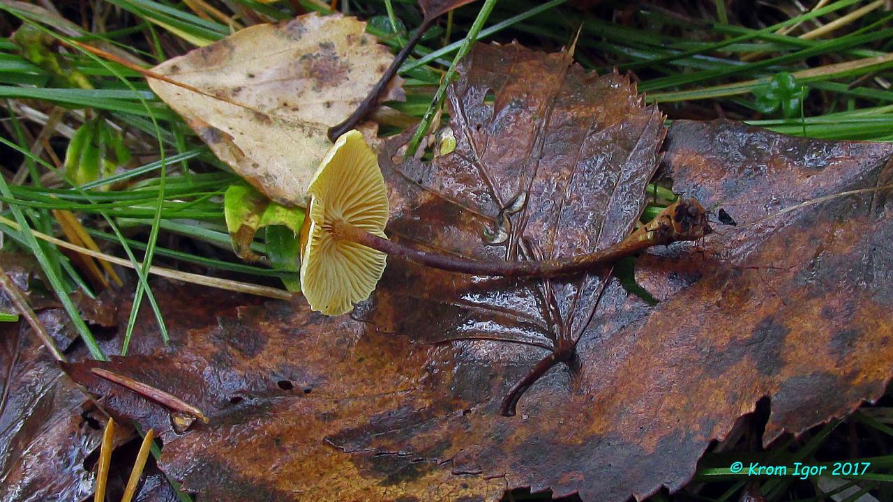Ксеромфалина ясенелюбивая (Xeromphalina fraxinophila) Автор: Кром Игорь