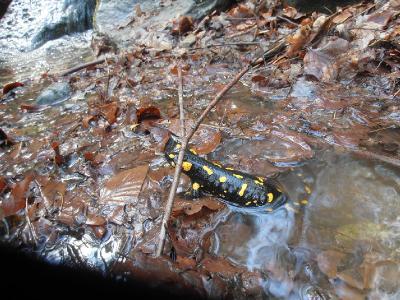 Огненная саламандра (Salamandra salamandra) Автор фото: Кирилова Любовь